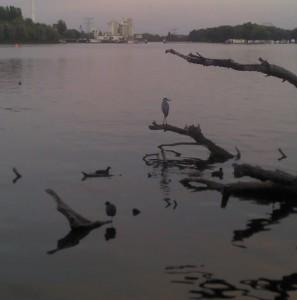 Fischreiher auf der Spree